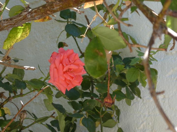Bisbee flower