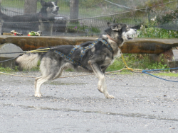 Denali dogs 6