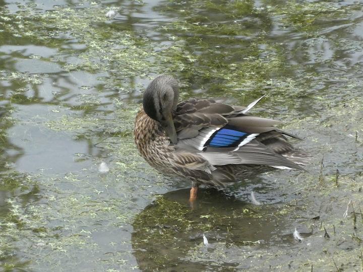 MendenhallGlacier.duck