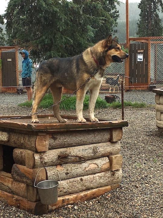 Denali dogs 1