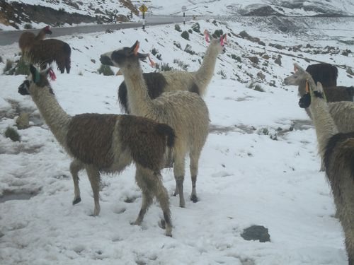 15First llama sighting